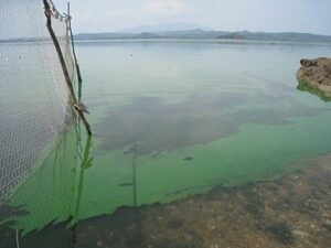 Fig. 1: Algal bloom in the reservoir Cérron Grande, El Salvador (Photo: M. Hieber)